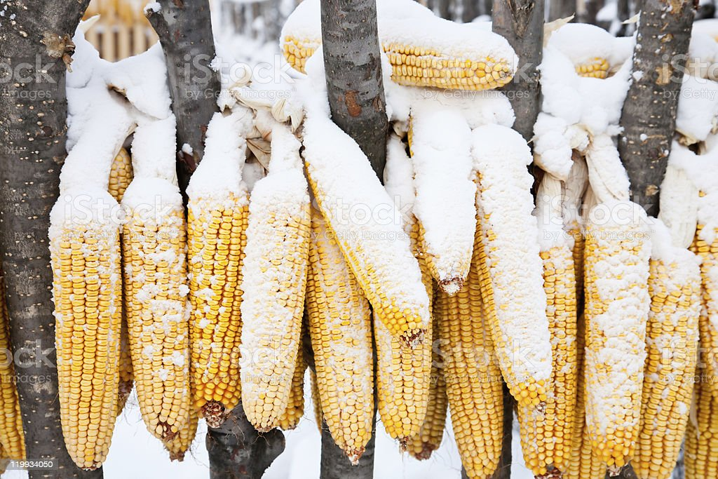snow-covered corn royalty-free stock photo