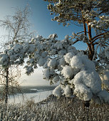 Snow-covered fir branch on a background of winter river
