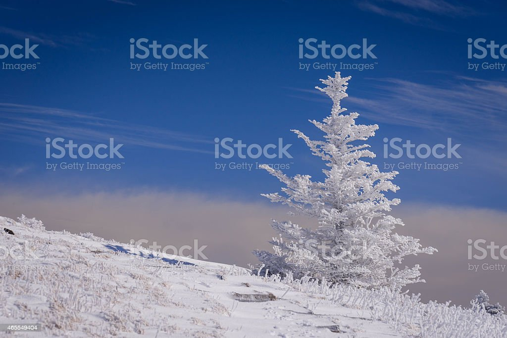 Snow-Covered Fraser Fir trees stock photo