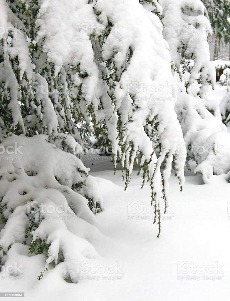 Snow-covered hemlock branches stock photo