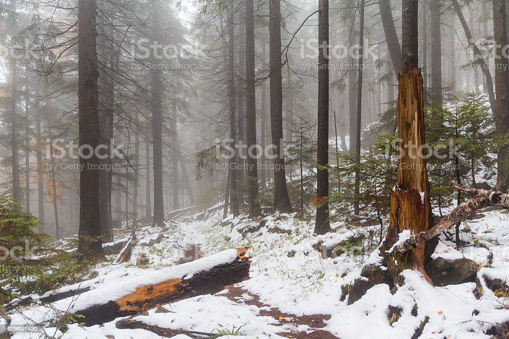 Snow-covered path in the woods in the fog stock photo