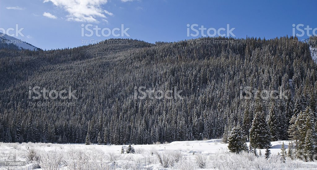 Snow-covered Pine Trees stock photo