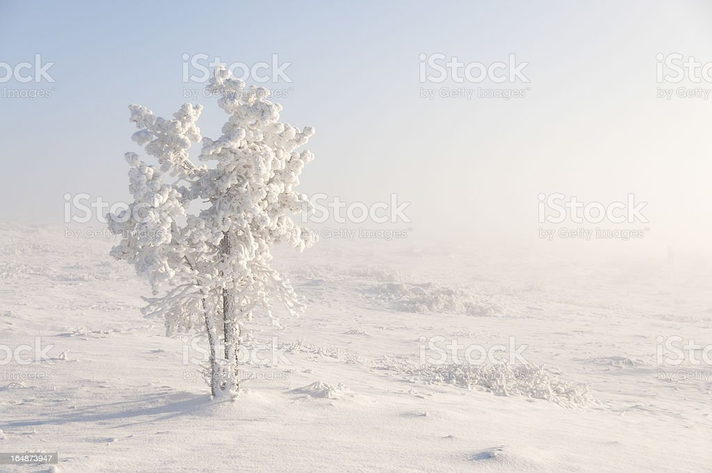 Snow-covered tree in Lapland royalty-free stock photo