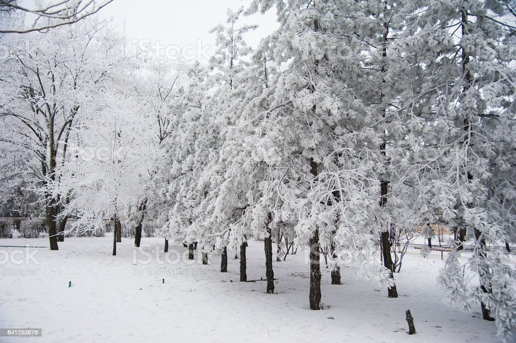Snow-covered trees in a city park stock photo