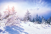 Snow-covered trees in winter forest at sunset.