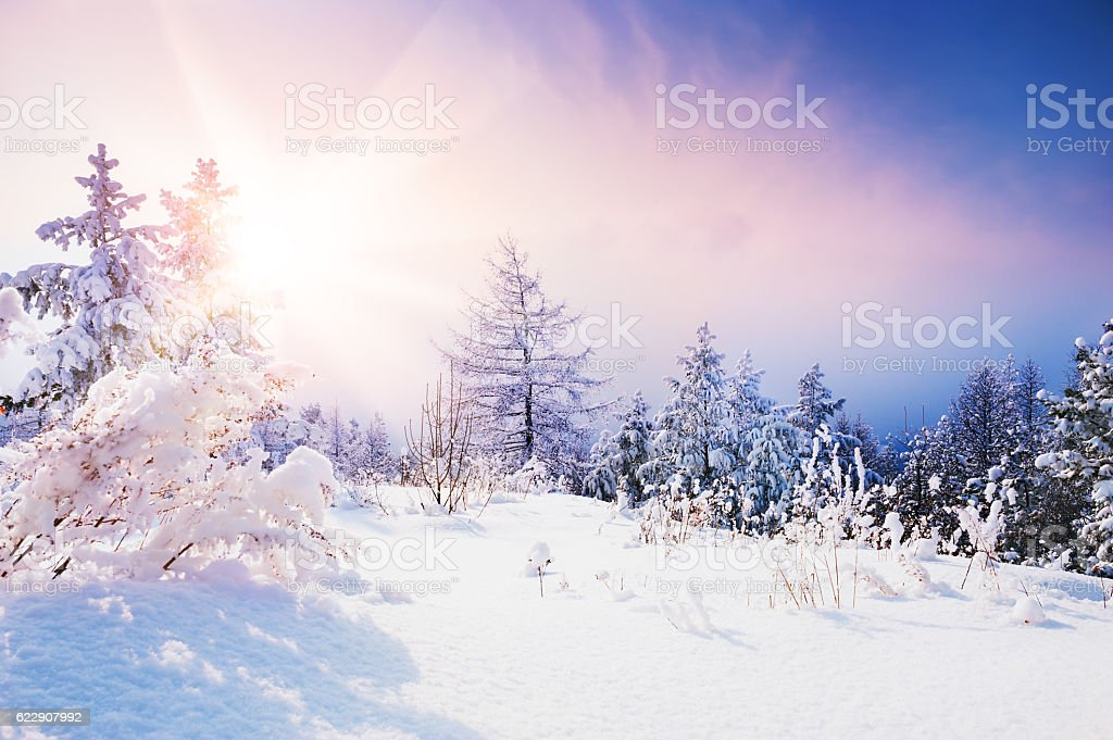 Snow-covered trees in winter forest at sunset. stock photo