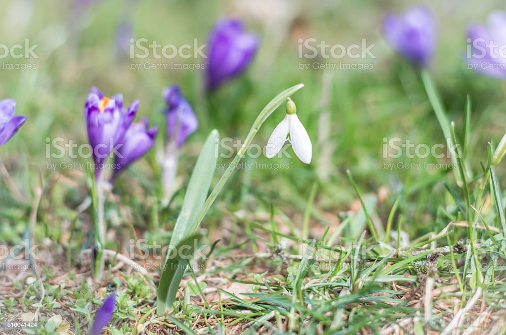 Snowdrop and Crocus flower in springtime stock photo