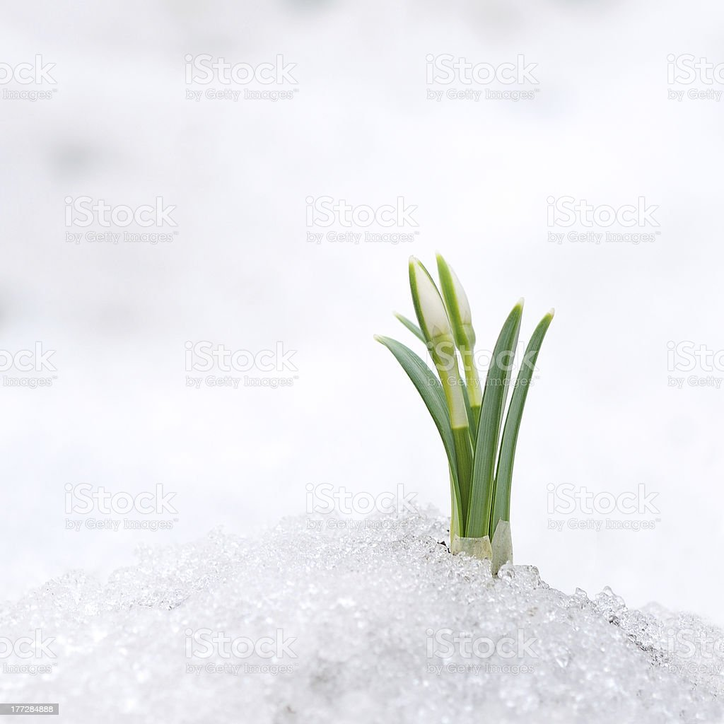 Snowdrop and Snow royalty-free stock photo