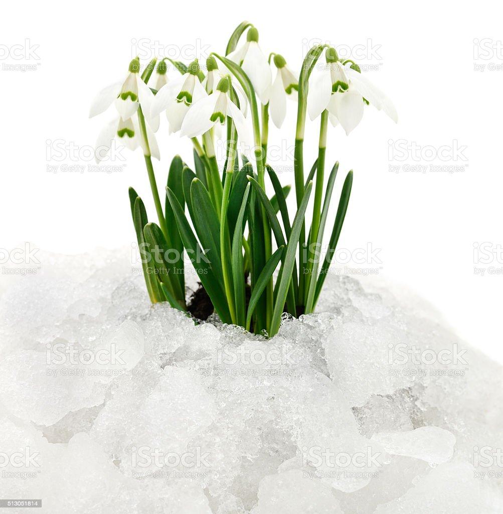 Campanilla de nieve y la nieve. foto de stock libre de derechos