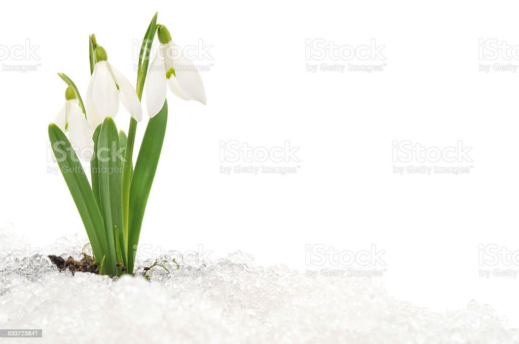 Snowdrop and Snow stock photo