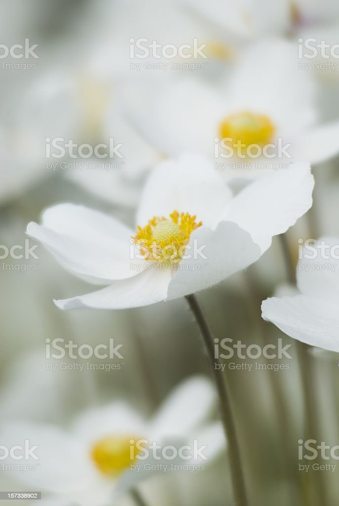 Snowdrop Anemone (Anemone sylvestris) - I royalty-free stock photo