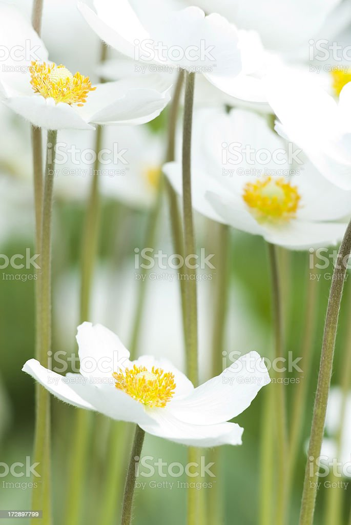 Snowdrop Anemone (Anemone sylvestris) in Spring - I royalty-free stock photo