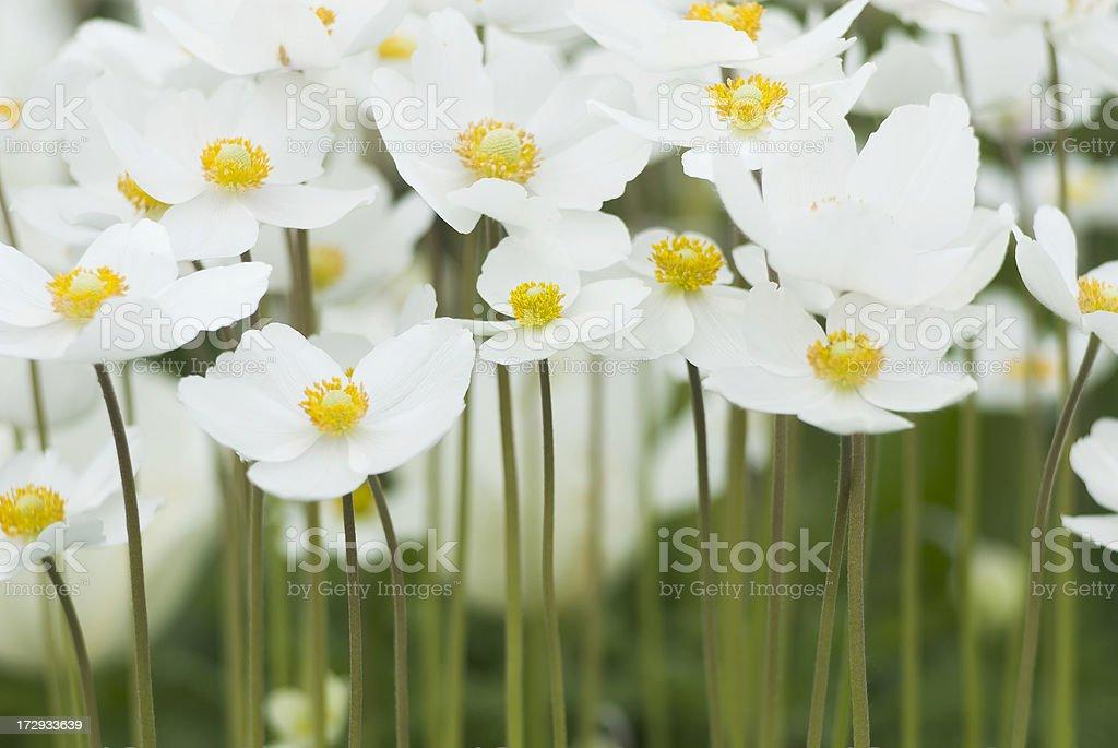 Snowdrop Anemone (Anemone sylvestris) in Spring - III royalty-free stock photo