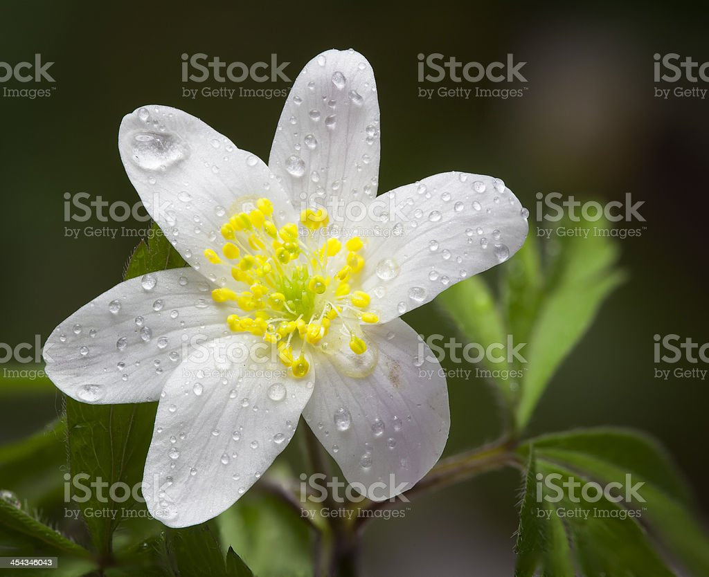 Snowdrop Anemone (Anemone sylvestris) in Spring royalty-free stock photo