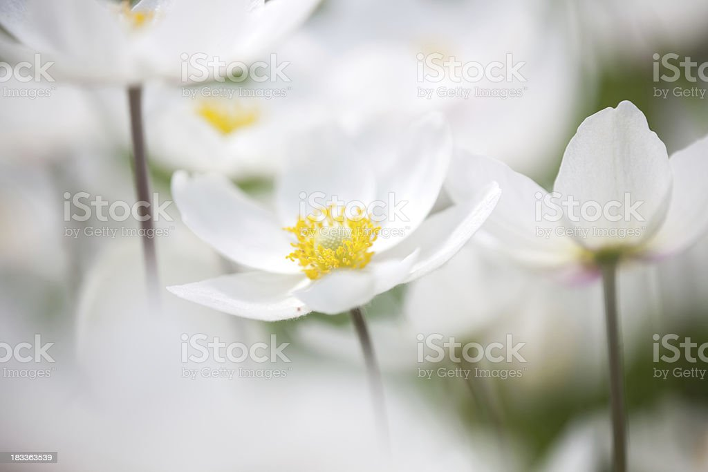 Snowdrop Anemone (Anemone sylvestris) in Spring season with black background royalty-free stock photo