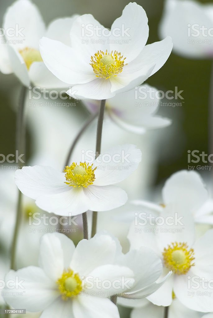 Snowdrop Anemone (Anemone sylvestris) in Spring - VII royalty-free stock photo