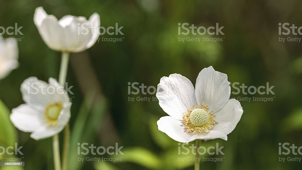 Galanthus occidentalis Lizenzfreies stock-foto