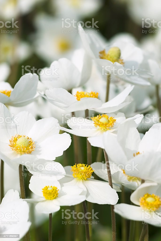 Snowdrop Anemone (Anemone sylvestris) - X royalty-free stock photo
