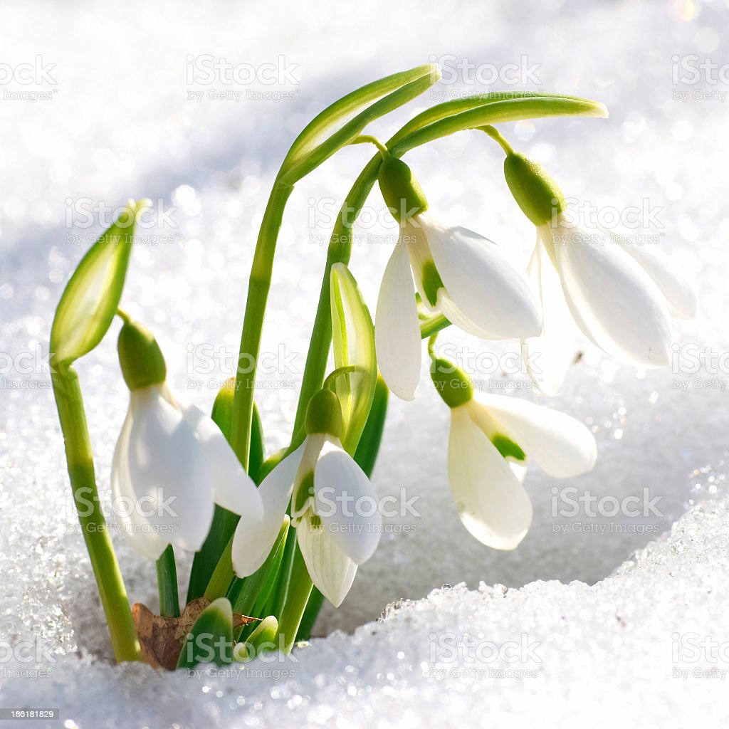 Snowdrop flowers blooming in the snow stock photo