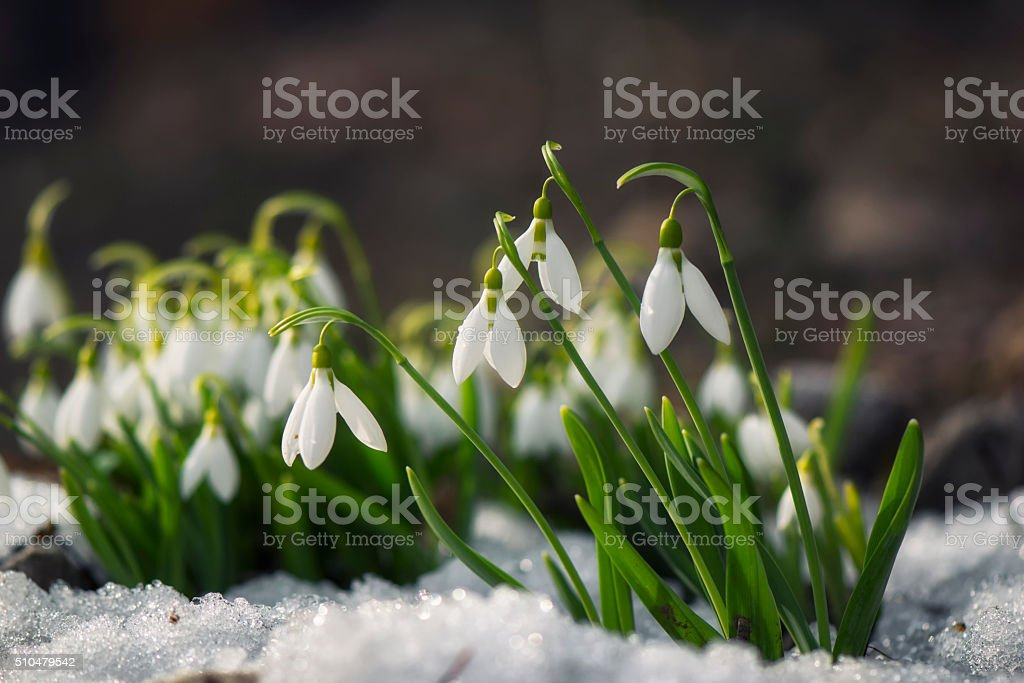 Snowdrop flowers blooming in winter stock photo