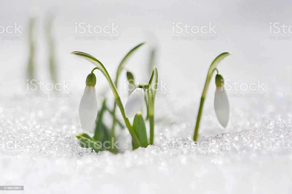 snowdrop flowers in morning stock photo