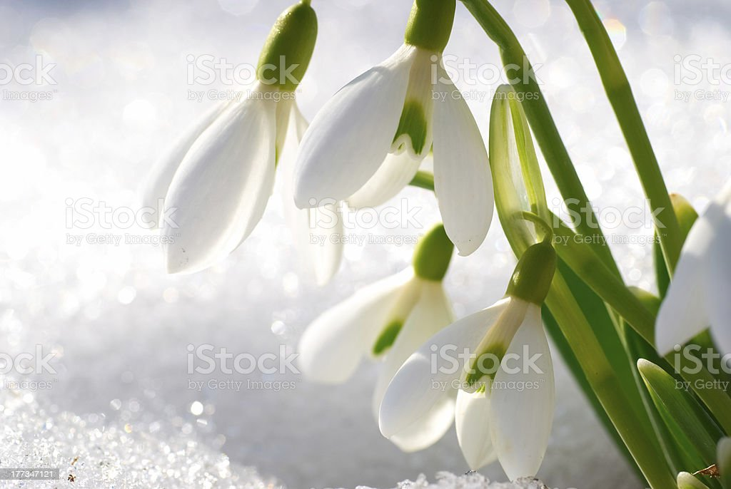 Snowdrop flowers surrounded by a spring snow stock photo