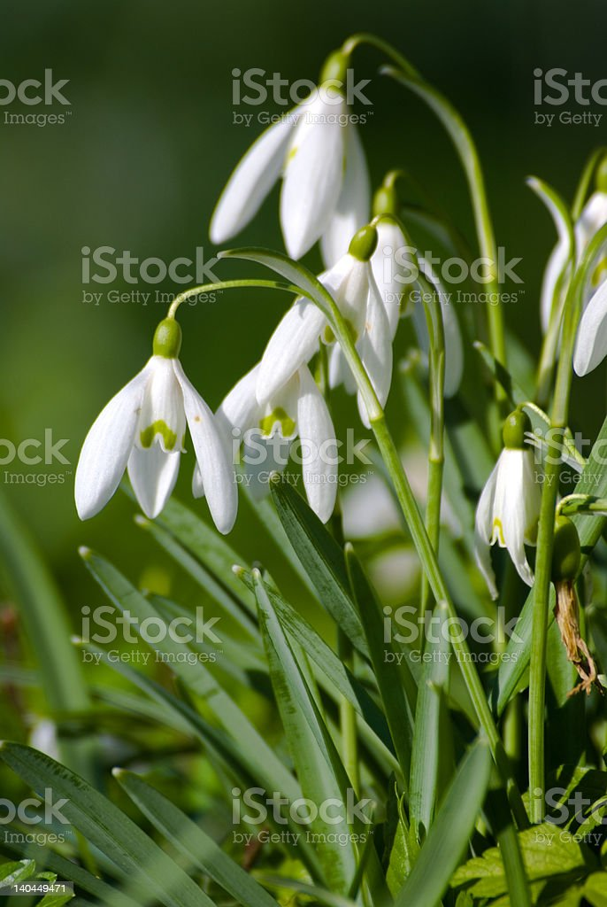 Snowdrop in closeup royalty-free stock photo