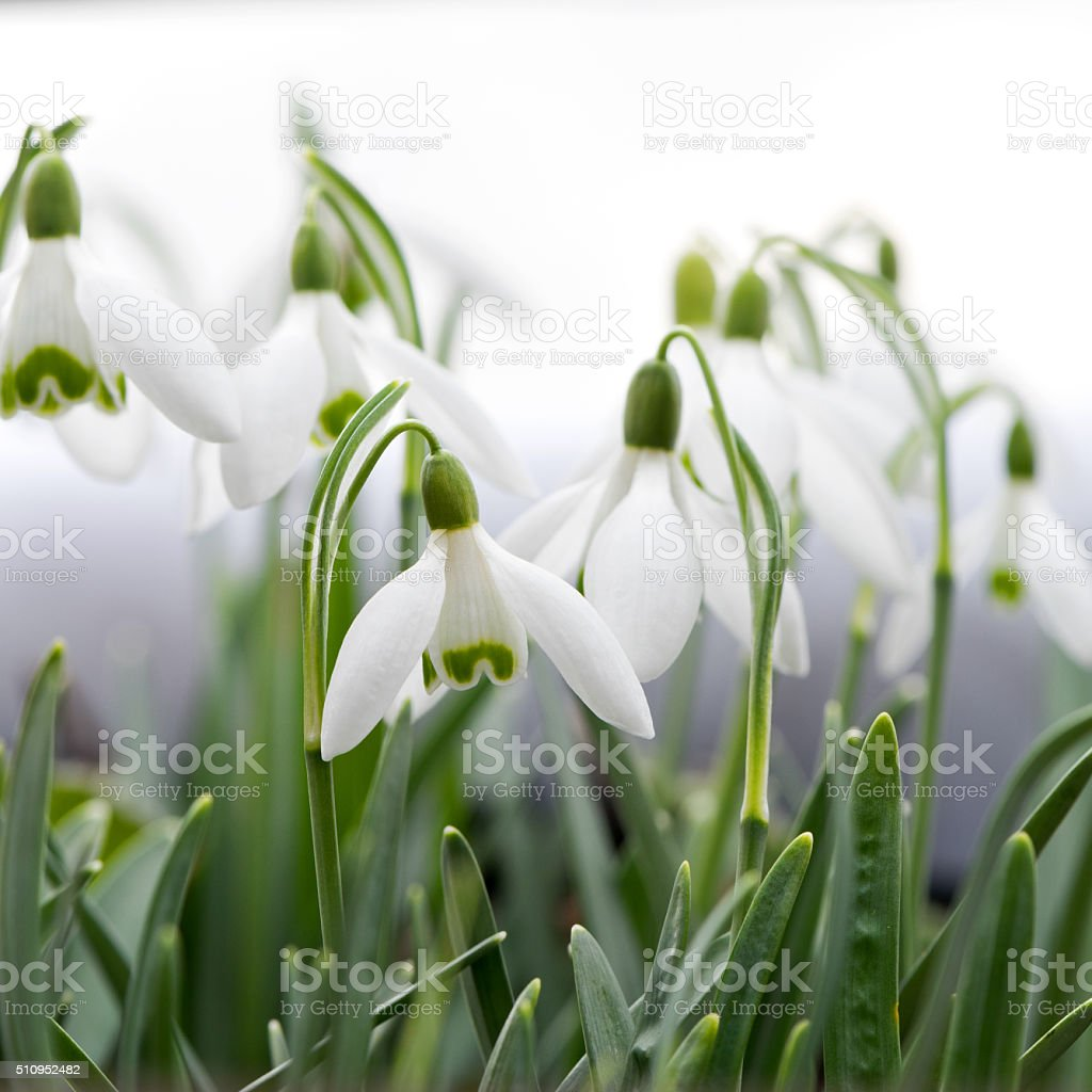 Snowdrop stock photo
