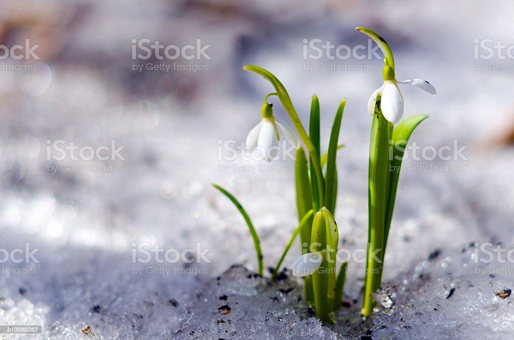 Snowdrop ( snežienka ) stock photo