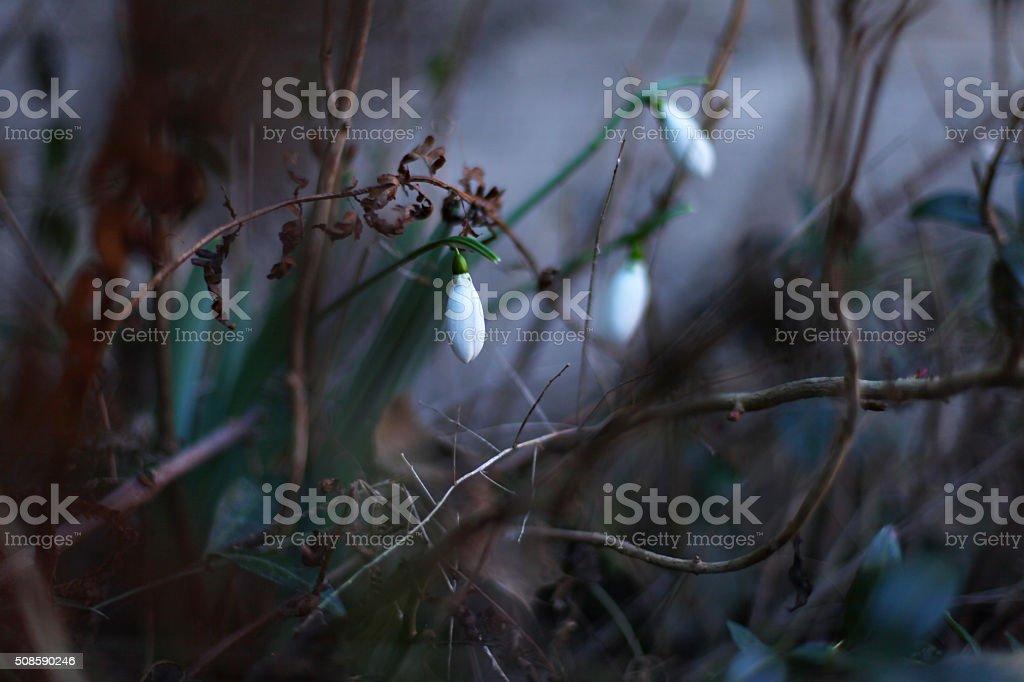 Snowdrop selective focus stock photo