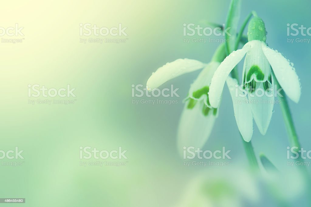 Snowdrop- spring white flower with bright shiny sun. stock photo
