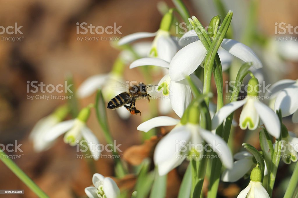 Snowdrop with flying bee stock photo