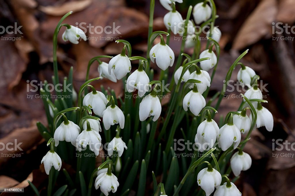 Snowdrops a Sign of Spring stock photo