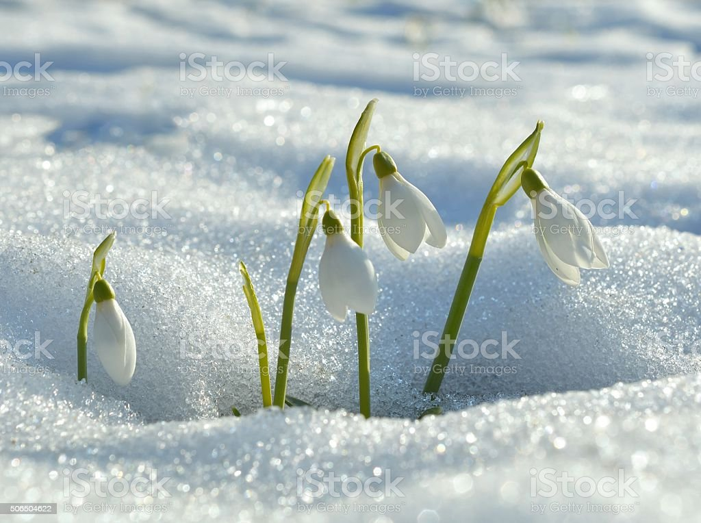 snowdrops flowering from the snow stock photo