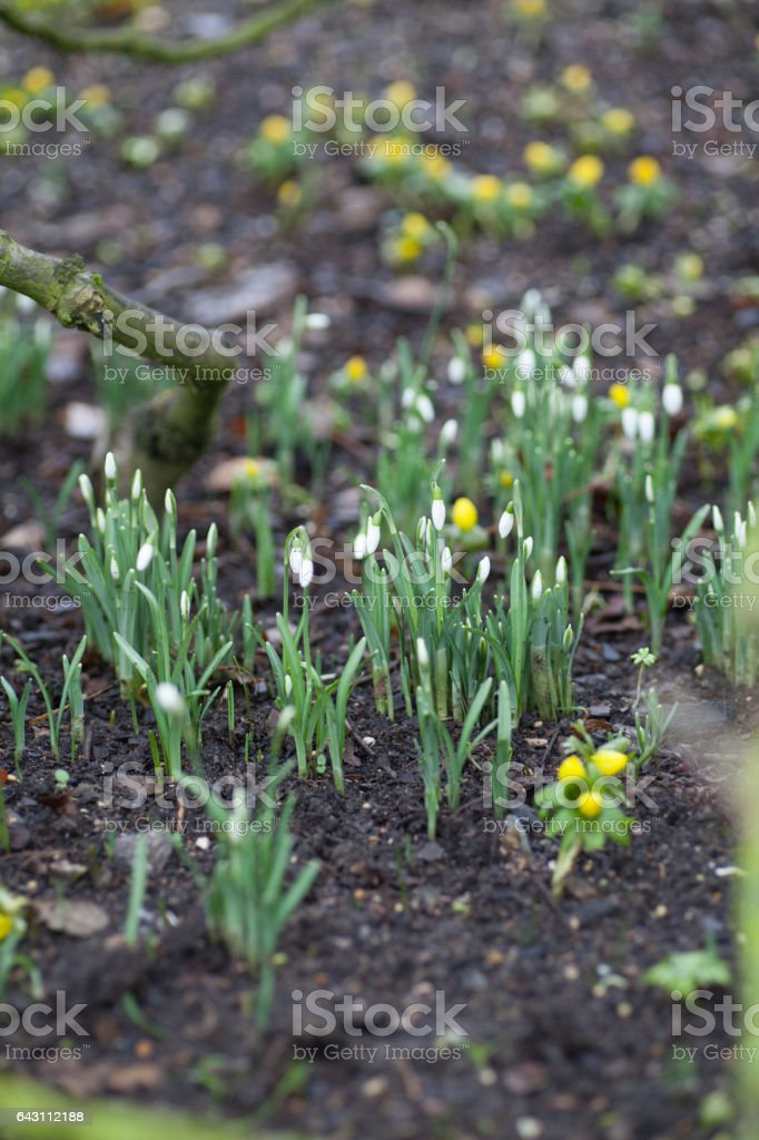 Snowdrops (Galanthus) growing in the woods stock photo