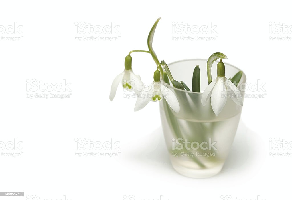 Snowdrops in a vase royalty-free stock photo