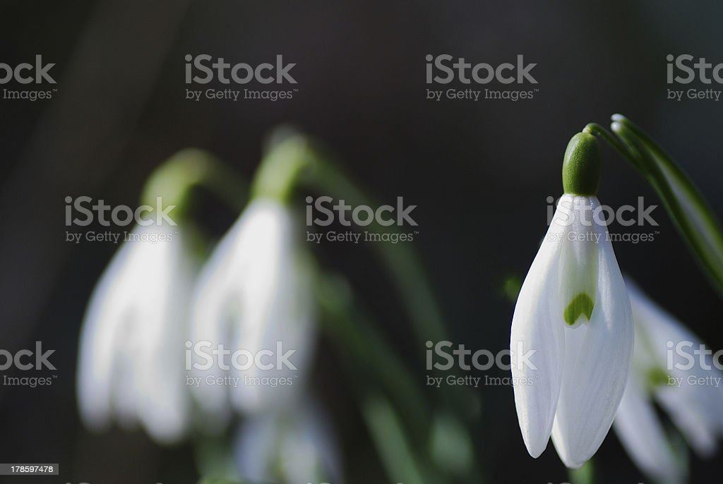 snowdrops in background royalty-free stock photo
