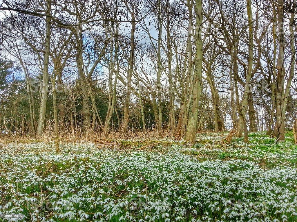Snowdrops in Dunwich, Suffolk stock photo