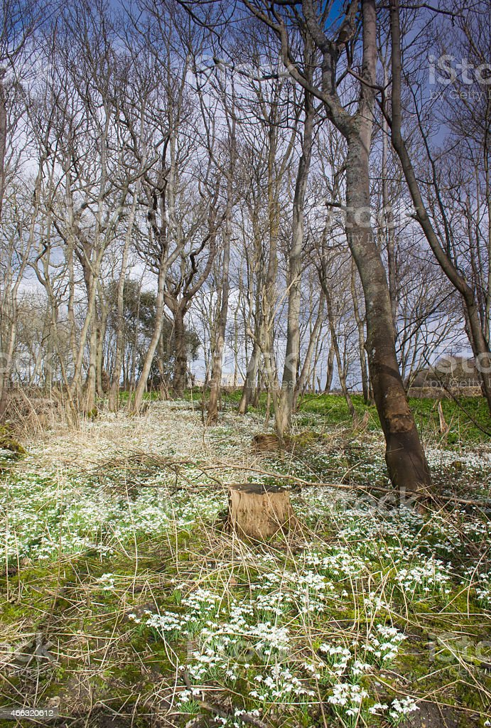 Snowdrops in Greyfriars Wood, Dunwich stock photo