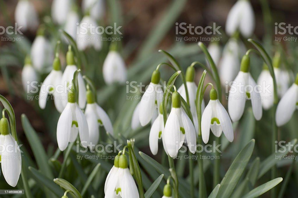 Snowdrops (Galanthus nivalis) in Spring stock photo