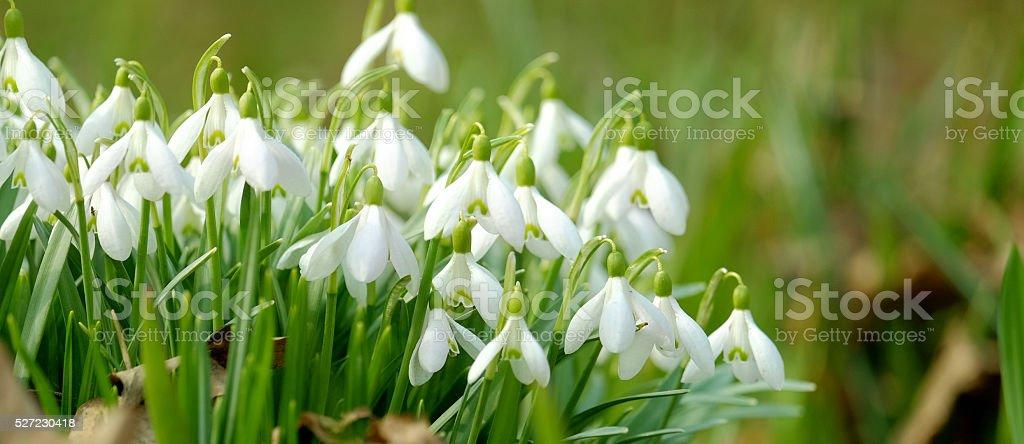 Snowdrops in spring stock photo