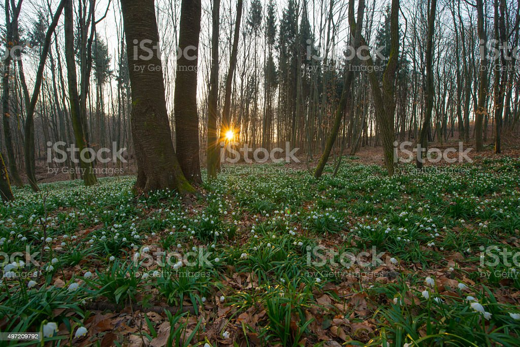 Snowdrops in the forest at sunrise stock photo