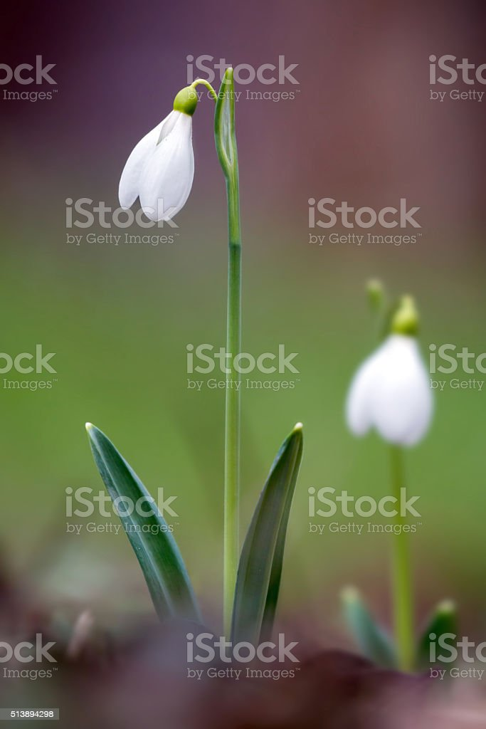 Snowdrops in the spring forest. stock photo