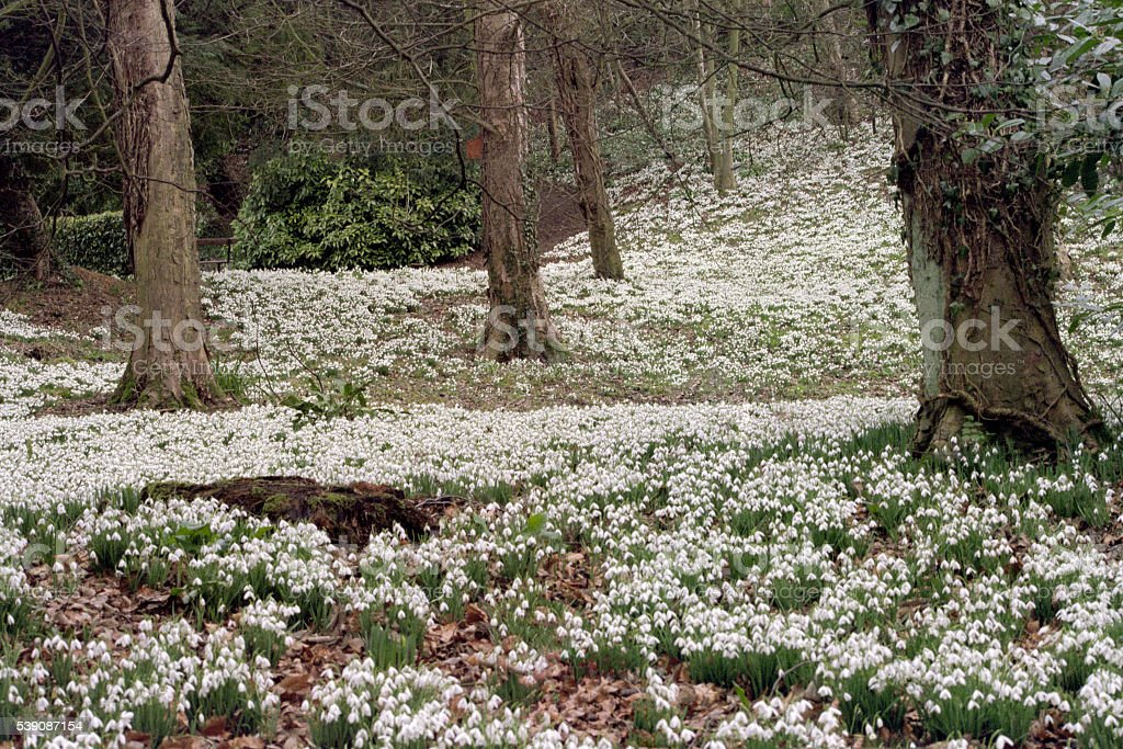Snowdrops in woodland stock photo
