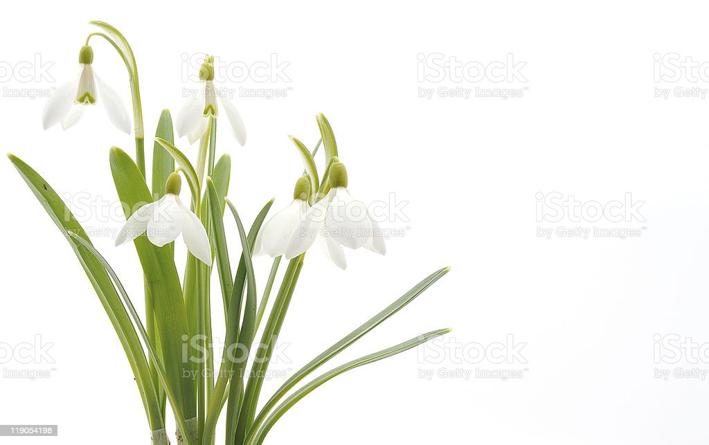Snowdrops (Galanthus nivalis) on white background royalty-free stock photo