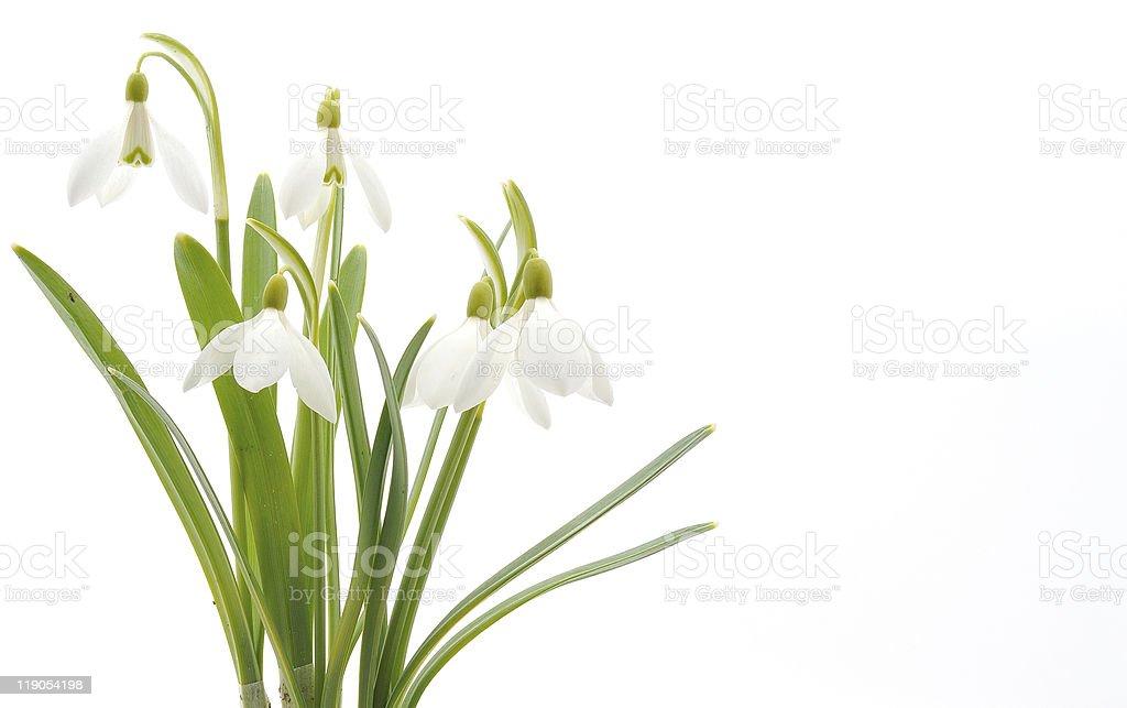 Snowdrops (Galanthus nivalis) on white background stock photo