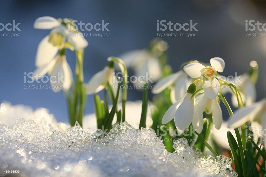 Snowdrops through snow stock photo