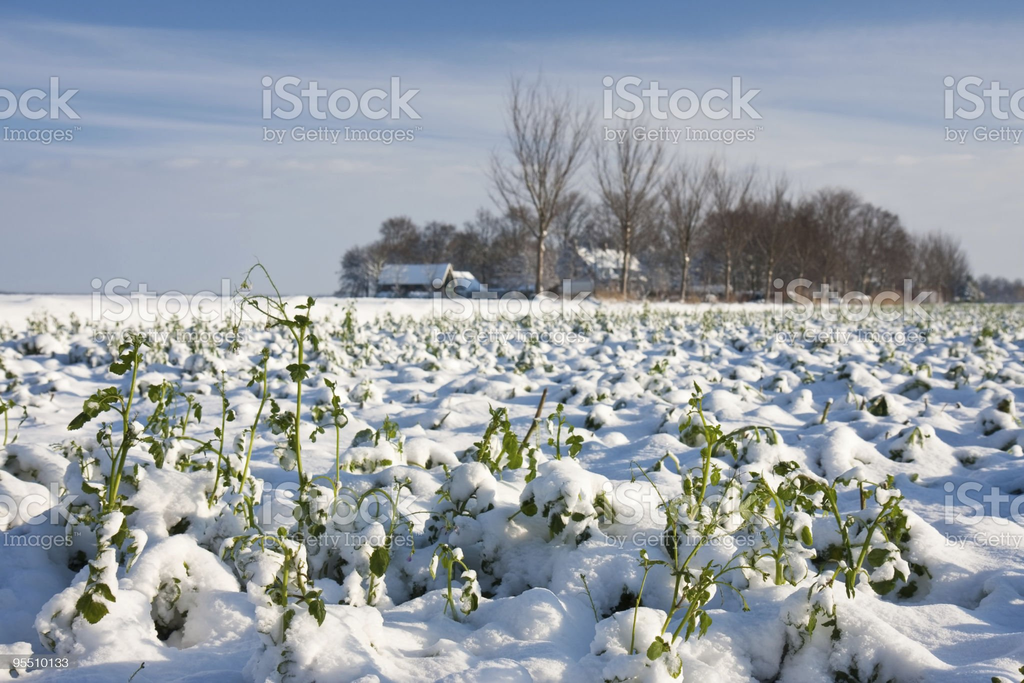 Snowed farm crop in winter, the Netherlands royalty-free stock photo