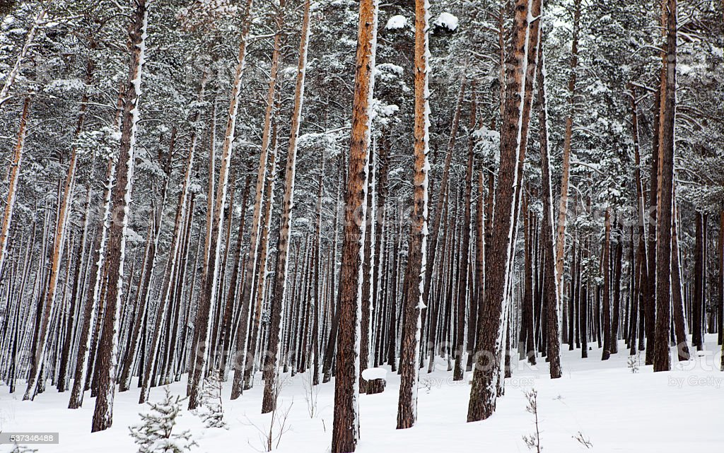 Snowfall in forest landscape stock photo