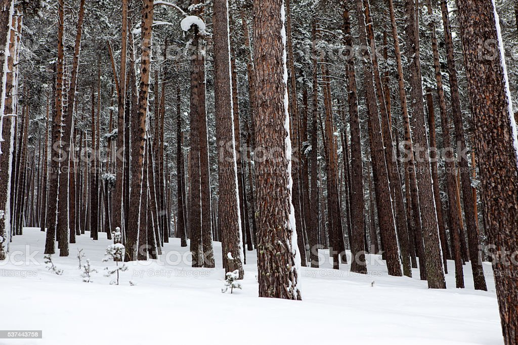 Snowfall in forest stock photo
